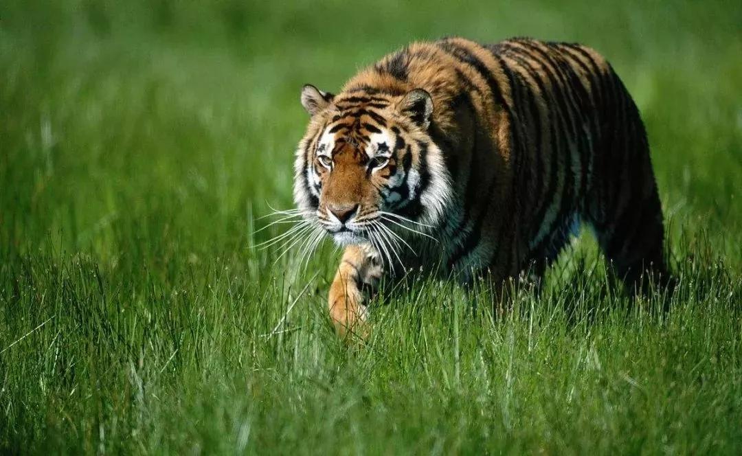 饥饿的老虎
